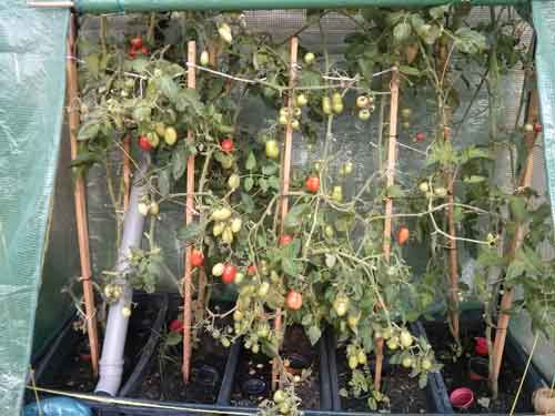 180 tomaten warten haus heim hof. Black Bedroom Furniture Sets. Home Design Ideas